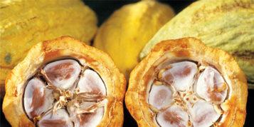 Młyn do przemiału ziaren kakaowca